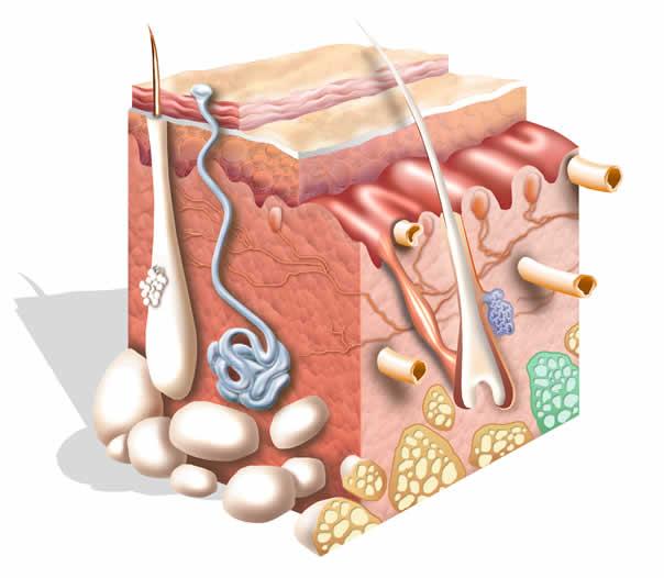 tejido-conjuntivo-sostiene-alimenta-resto-tejidos
